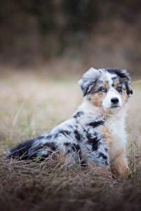 Картинки Собаки Австралийская овчарка Трава Животные