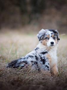 Картинки Собаки Австралийская овчарка Трава