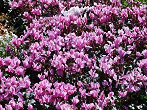 Картинка Цикламен Много Розовая Цветы