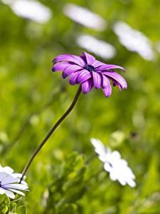 Картинки Маргаритка Боке Фиолетовых цветок
