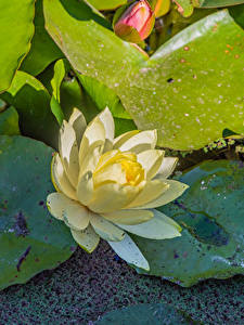 Картинки Лотос Крупным планом цветок