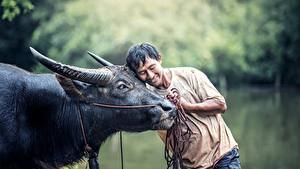 Фотографии Азиатка Мужчины Быки Рога Обнимает Животные