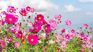 Фото Лето Луга Космея Цветы