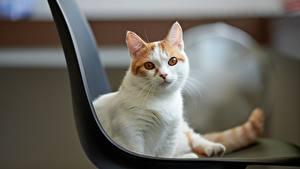 Картинка Кошка Смотрит Стулья Животные