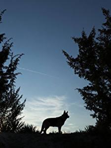 Фотографии Волк Ночь Силуэта животное