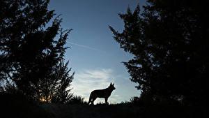 Фотографии Волки Ночь Силуэт Животные