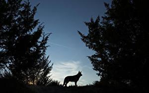 Фотографии Волки Ночные Силуэт Животные