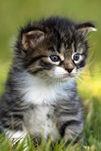 Фотография Кошка Котенок Трава Размытый фон Животные