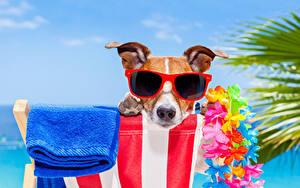 Картинки Собаки Полотенце Джек-рассел-терьер Очков Морды животное