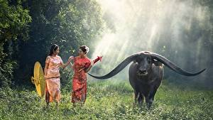 Фотографии Азиаты Быки Трава Зонт Рога Животные Девушки