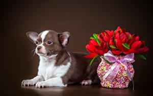 Фотографии Собака Тюльпан Цветной фон Чихуахуа Вазы Бантик Животные Цветы
