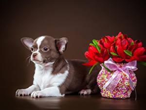 Фотографии Собаки Тюльпаны Цветной фон Чихуахуа Вазы Бантик Животные Цветы