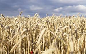 Фотографии Поля Пшеница Размытый фон Колосок Природа