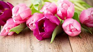 Обои Тюльпан Доски Розовая цветок