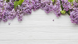 Фотография Сирень Доски цветок