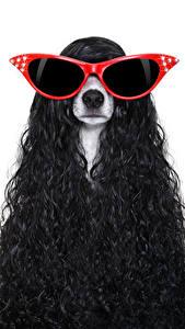 Фотография Собака Белым фоном Джек-рассел-терьер Волосы Очков Животные