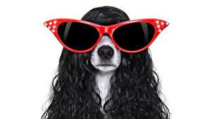 Фотография Собаки Белый фон Джек-рассел-терьер Волосы Очки Животные