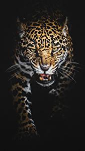 Фотография Большие кошки Леопард На черном фоне Хмурость Усы Вибриссы Животные