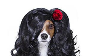 Картинки Собаки Оригинальные Розы Кудрявые Белый фон Джек-рассел-терьер Животное