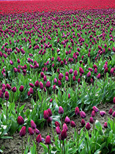 Фотография Поля Тюльпаны Много Бордовый Цветы
