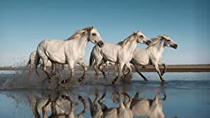 Фото Лошадь Бежит Втроем С брызгами Белая животное