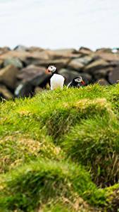Фотография Птица Тупики Траве Животные