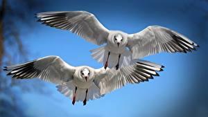 Картинка Чайка Птицы Полет Двое Крылья Животные