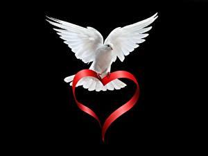 Фотографии Птицы Голуби На черном фоне Белая Сердца Животные