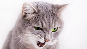 Картинки Кошки Белый фон Морды Хмурость Животные