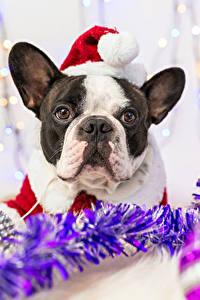 Фотография Рождество Собаки Французский бульдог Шапки Морда