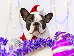 Фотография Рождество Собаки Французский бульдог Шапки Морда Животные