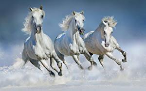 Картинка Лошади Белых Втроем Бег животное