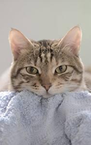 Картинка Коты Полотенце Взгляд