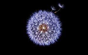 Фото Одуванчики Вблизи Черный фон Цветы