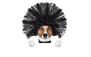 Картинка Собака Белым фоном Джек-рассел-терьер Волосы Морды Смотрят Прически Смешной
