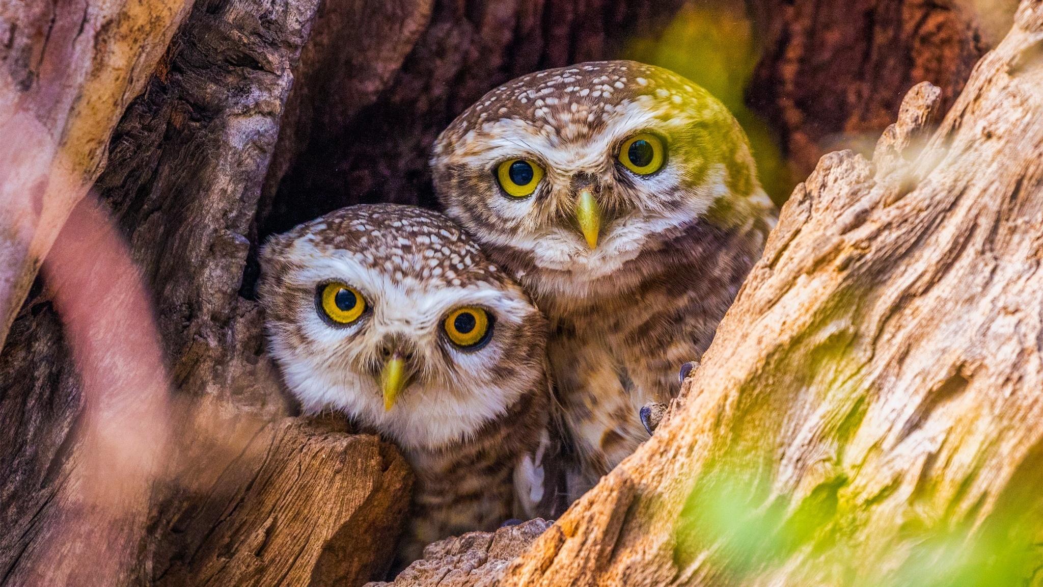 природа животные птицы сова совенок nature animals birds owl owlet загрузить