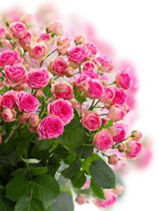 Фотография Букеты Розы Белый фон Розовая цветок