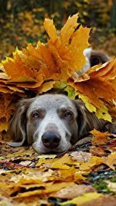Фотография Собаки Осенние Веймаранер Листва