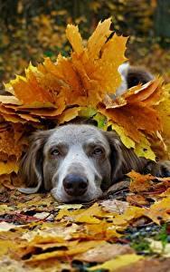 Фотография Собаки Осенние Веймаранер Листва Животные
