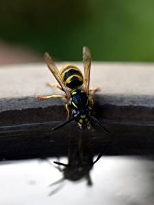 Фотографии Насекомое Вблизи Пьет воду Wasp животное