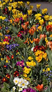 Фотографии Великобритания Парки Тюльпаны Первоцвет Много Swansea Botanic Gardens Wales Цветы