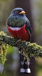 Картинки Птица Ветки Мох Masked Trogon - Male Животные