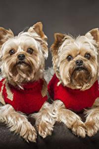 Обои Собаки Двое Йоркширский терьер Смотрят Животные