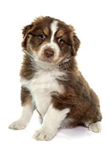 Картинка Собака Белом фоне Аусси Щенков Сидит