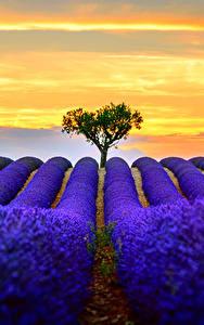 Картинка Лаванда Поля Синий Природа
