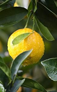 Картинки Лимоны Капли Листва Желтый