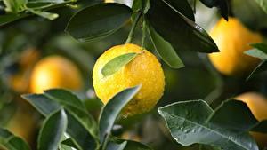 Картинки Лимоны Капля Листва Желтые Еда