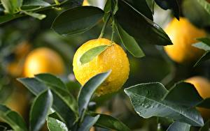Картинки Лимоны Капля Листва Желтые
