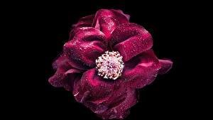 Фотография Розы Вблизи Черный фон Бордовый Капли Цветы