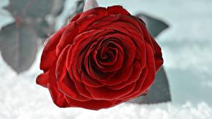 Обои Розы Вблизи Снег Красный